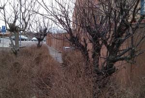 Huvudlöst beskurna körsbärsträd är för alltid förstörda.