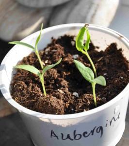 Auberginen bör förkultiveras och odlas fram inomhus.