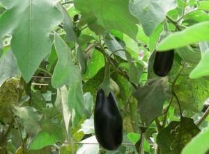 Auberginen är en värmeälskande växt som odlas i växthus.