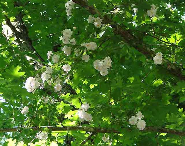 Klängrosorna kan gärna klättra upp i träd och större buskar.
