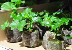 Sticklingar av hängpelargon som är rotade och klara att plantera om i blomjord.