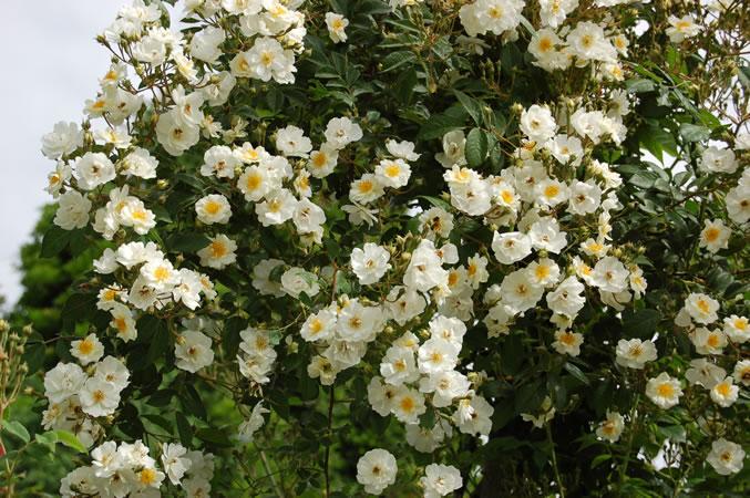 Seagull är en kraftigväxande vit klängros med riklig blomning.