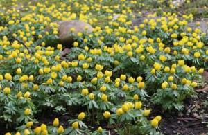 Vintergäcken trivs bra i skogsbrynet som värms upp tidigt om våren.