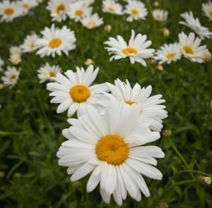 Jätteprästkragen är en speciellt utvald frisk och härdig trädgårdssort.