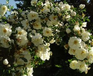 Midsommarrosen kallas också Finlands vita ros och är exempel på en tålig ros med underbar blomning.