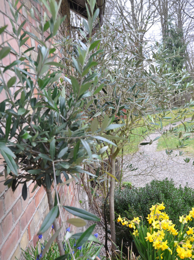 Olivträden behöver vatten när de startar tillväxten.