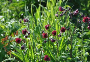 Fina purpurfärgade aklejan Black Barlow gör sig fint mot det gröna.