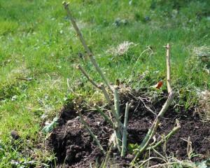 En buskros som smakar gott - Louise Odier bör skyddas med nät till vintern.