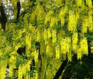 Gullregnets överdådiga blomning kan man få njuta av även om amn har rådjursproblem på tomten.