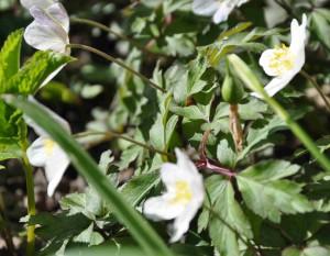 Snödroppens frön mognar tidigt och sprids sedan av bl a myror som bär runt på dem.