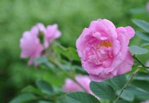 Hurdalsrosen har starkt rosa blommor med mörkare ådring.