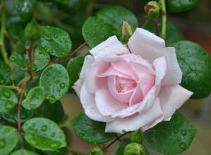Klätterrosor som växer mot en torr vägg behöver extra näring för att blomma.