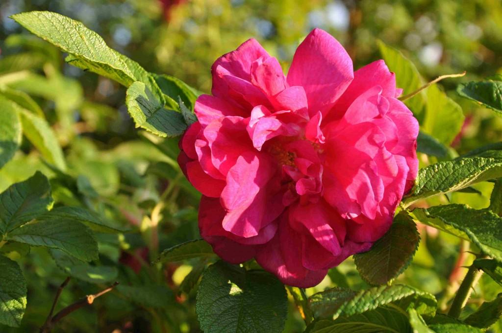 Hansarosen har en underbart stark doft och oavbruten blomning från sommar till november.