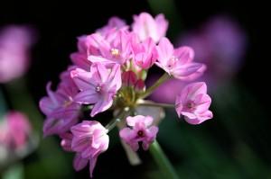 Berglöken är en lågväxande lökväxt som kan sprida sig snabbt med både frö och sidolökar.