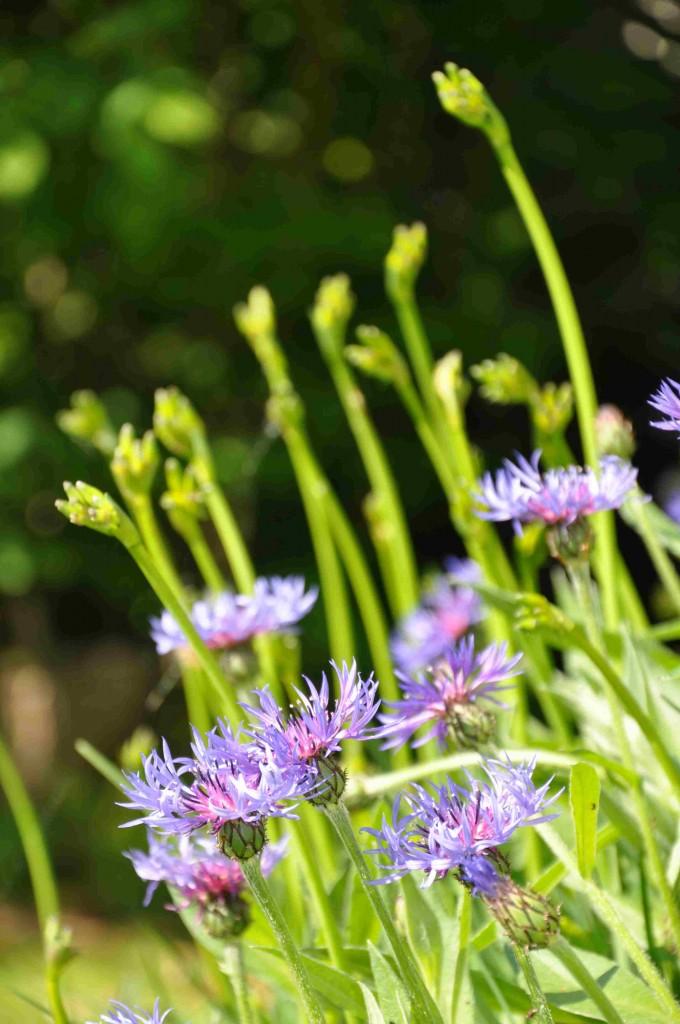 Bergklinten har en intensivt blå färg som är ganska ovanlig i växtvärlden.