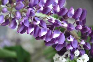 Lupinen har blommor i många olika färgkombinationer från blått, vitt till rött och rosa.