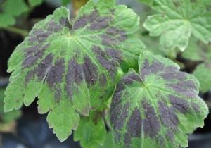 Brunnävans blad är vackert mönstrade i chokladbrunt och grönt.