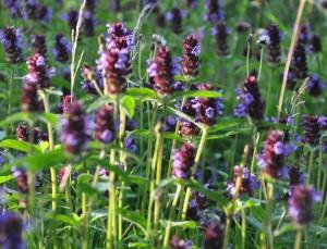 Brunörten trivs i gräsmattan och kommer gärna igen med ett nytt flor efter nerklippning.