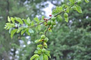 Plommonträdet tillbakabildar frukt som inte pollinerats ordentligt.