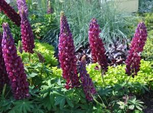Lupinerna är tacksamma att blanda in i den soliga, torra rabatten med växter i den silvriga färgskalan.