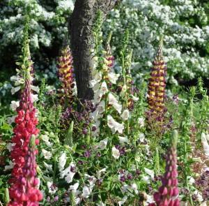 Lupiner är ärtväxter som tar upp kväve ur luften och lagrar det i rötterna.