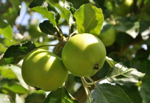 Det tidiga Astrakan har gott om frukt i år.
