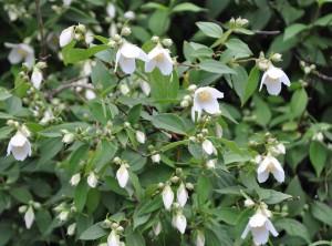Smultronschersmin är mindre i växten och något senare i blomningen än doftschersmin.