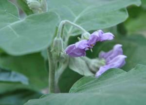 Att auberginen är släkt med potatis, tomat, chili och paprika ser man på blomman.