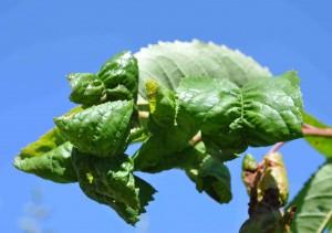 Bladlössen värdväxlar mellan sötkörsbär och måror.