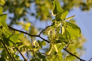 Lindens blad blir värdar för blladlöss som suger saft och avsöndrar honungsdagg.