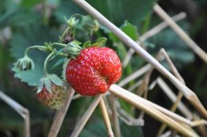 Stinkflyet suger på blommor och kart och orsakar missbildade jordgubbar.