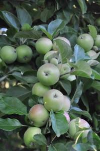 Tätt sittande äpplen bör gallras för att få större och smakligare frukter.