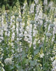 Vita fingerborgsblommor bland silverfärgade blad och frökapslar av vallmo är en skön bild.