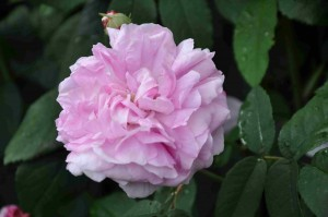 Mörkrosa mitt och ljusare kronblad utåt har buskrosen Ispahan.