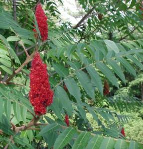 Rönnsumaken är ett vackert litet träd som ger en exotisk känsla i trädgården.