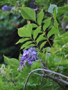 Blåregn är en klängväxt för varma och skyddade lägen.