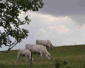 Längs åkanten betar kor som håller ängarna öppna.