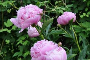 Ljusrosa och välfylld pion som blommar i juni-juli.