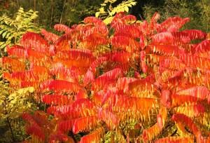 Rönnsumaken har en lysande orangeröd höstfärg som sitter i länge.