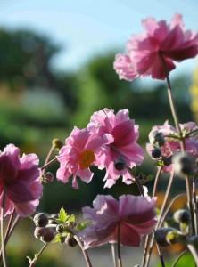 Vissa höstanemoner har halvfyllda, rosa blommor, men de flesta är enkla och vita.