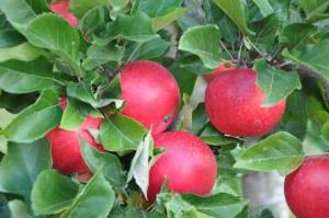 Det grannt röda höstäpplet Discovery smakar som bäst i mitten av september.