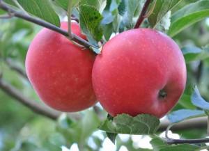 Söta, rodnande äpplen av sorten Discovery.