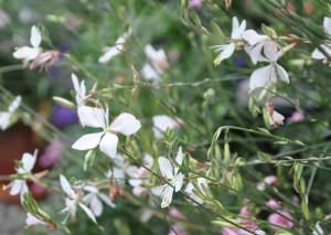 Sommarljus eller gaura är en bedårande blomma som påminner om fladdrande fjärilar.