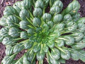 Tatsoi är en asiatisk grönsak som växer i täta rosetter med tjocka, mörkgröna blad.