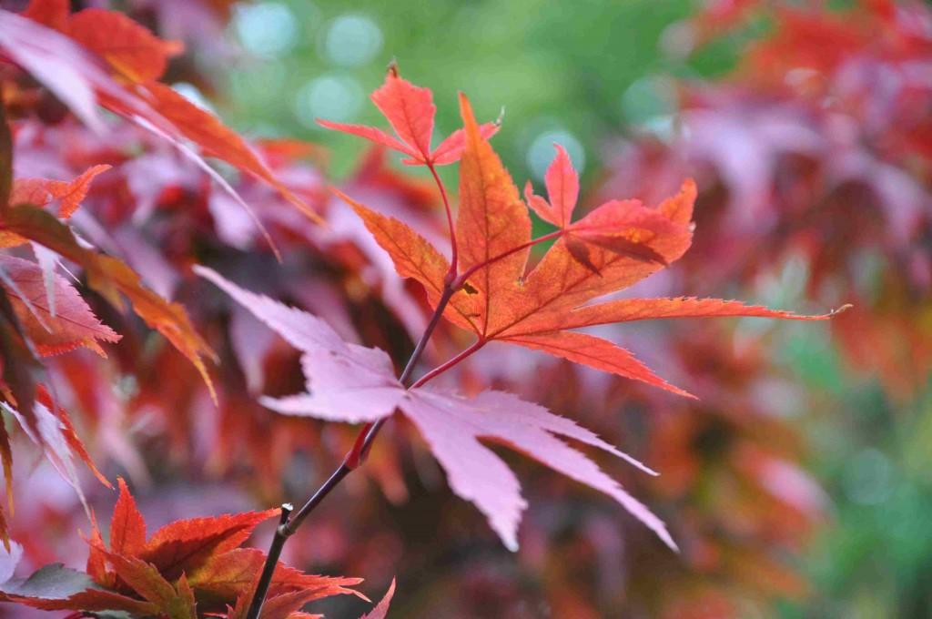 Mörkt röda blad hos den japanska lönnen.
