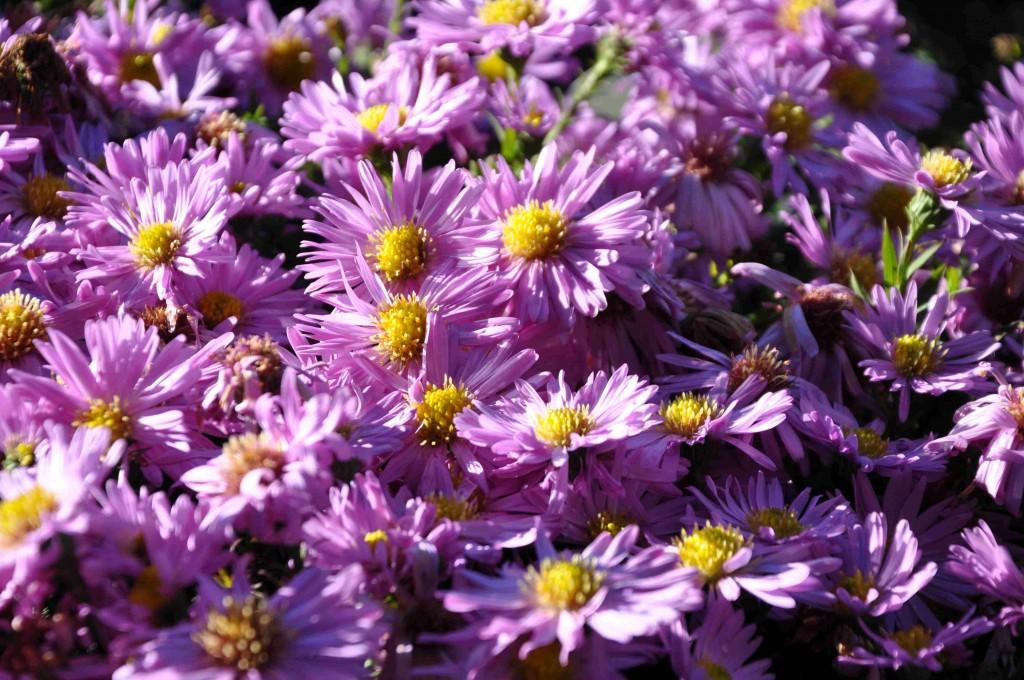 Lilafärgad oktoberaster blir inte mer än 40 cm hög och blommar rikligt.