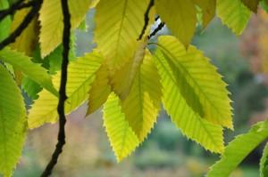 Kastanjens vackert sågade blad blir gula om hösten.