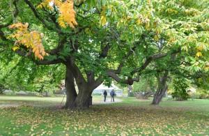 Den äkta kastanjen blir ett brett träd som överlever bara i de varmaste klimatzonerna.