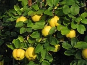 Kvitten har stora, päronliknande frukter som doftar gott.