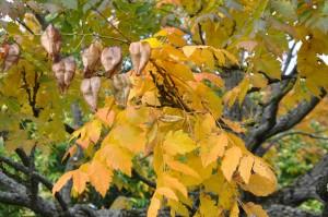 Kinesträdet får fantasifulla, blåsformiga frukter om hösten.